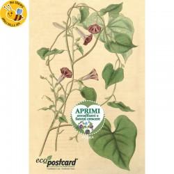 Eco-Postcard botanica vintage con fiore di ipomea